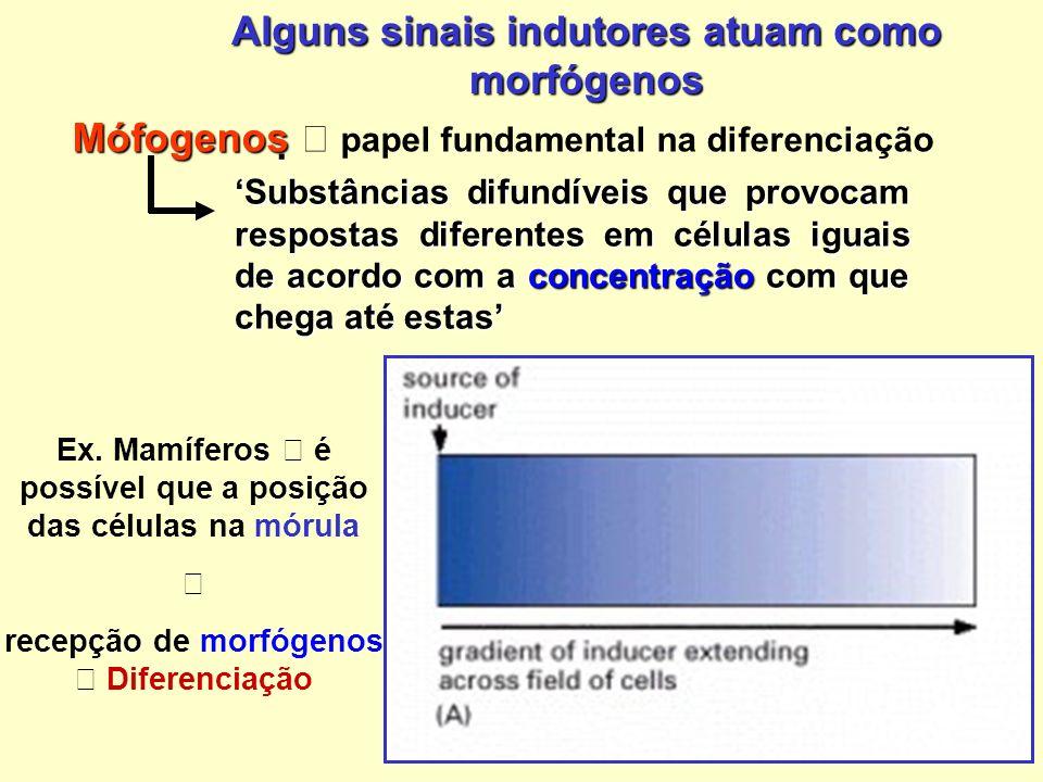 Alguns sinais indutores atuam como morfógenos Substâncias difundíveis que provocam respostas diferentes em células iguais de acordo com a concentração