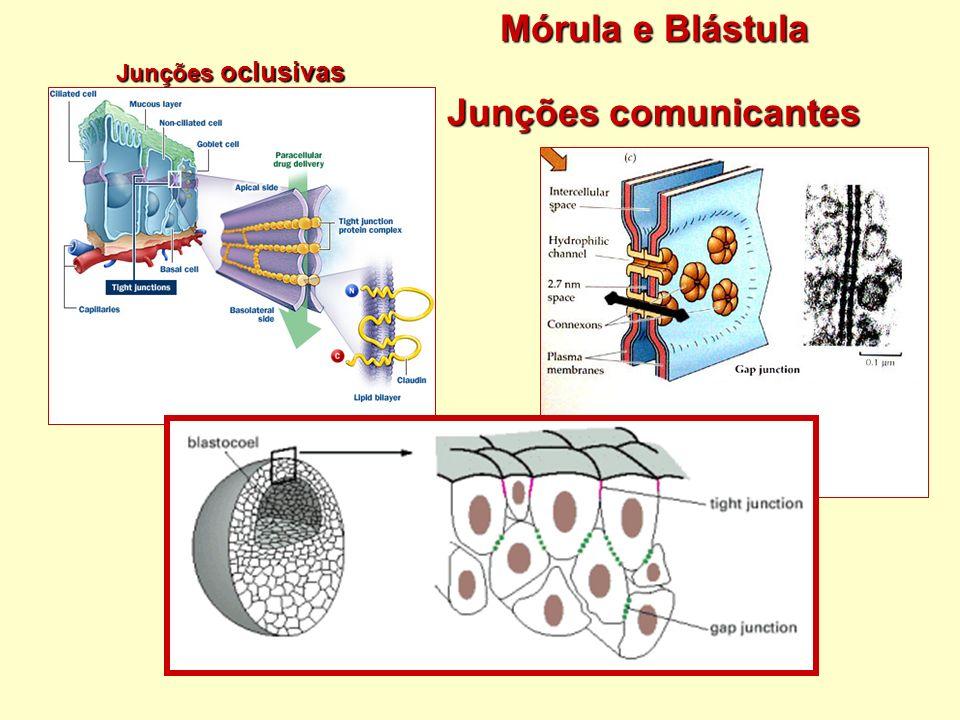 Mórula e Blástula Junções comunicantes Junções oclusivas