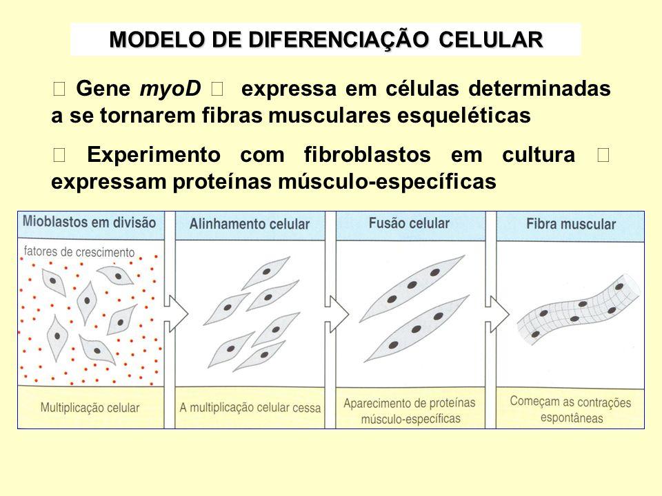 MODELO DE DIFERENCIAÇÃO CELULAR Gene myoD expressa em células determinadas a se tornarem fibras musculares esqueléticas Experimento com fibroblastos e