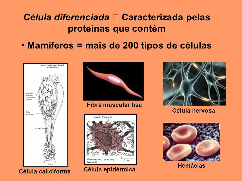 Célula diferenciada Caracterizada pelas proteínas que contém Mamíferos = mais de 200 tipos de células Célula caliciforme Célula epidérmica Fibra muscu