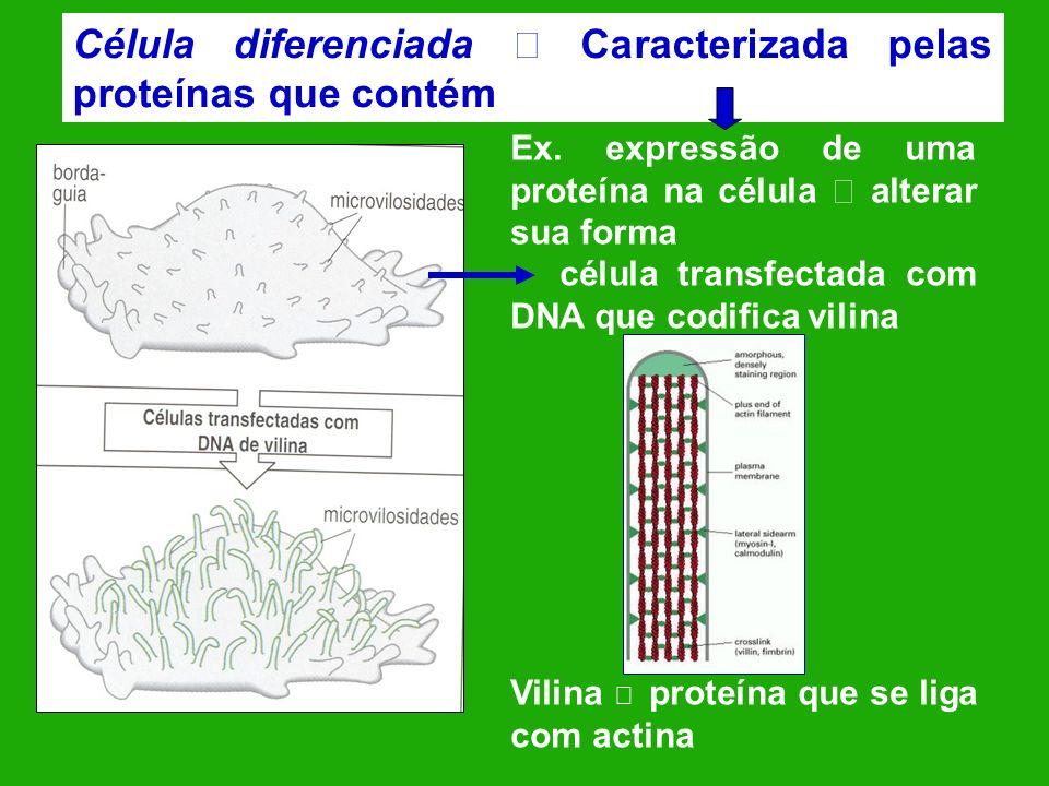 Célula diferenciada Caracterizada pelas proteínas que contém Ex. expressão de uma proteína na célula alterar sua forma célula transfectada com DNA que