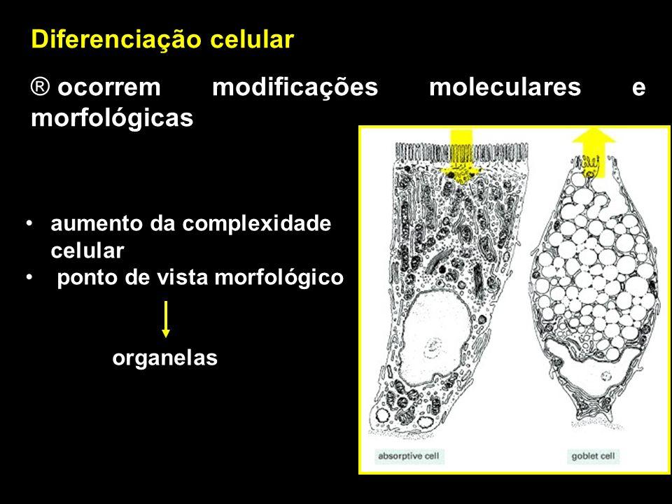 MODELO DE DIFERENCIAÇÃO CELULAR Gene myoD expressa em células determinadas a se tornarem fibras musculares esqueléticas Experimento com fibroblastos em cultura expressam proteínas músculo-específicas