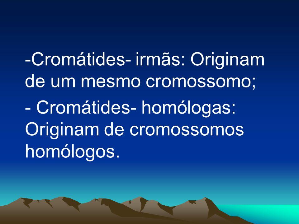 - Paquíteno: Os cromossomos homólogos já estão perfeitamente emparelhados, sendo possível visualizá-los melhor. Cada par de cromossomos homólogos poss