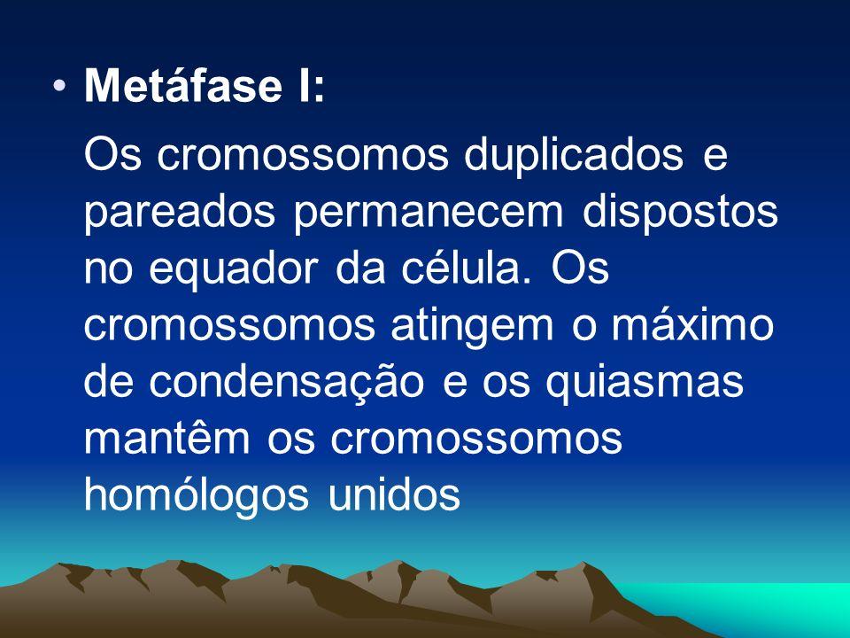 - Diacinese: Continua a ocorrer condensação dos cromossomos e a separação dos homólogos. Com isso, os quiasmas vão escorregando para as pontas das cro