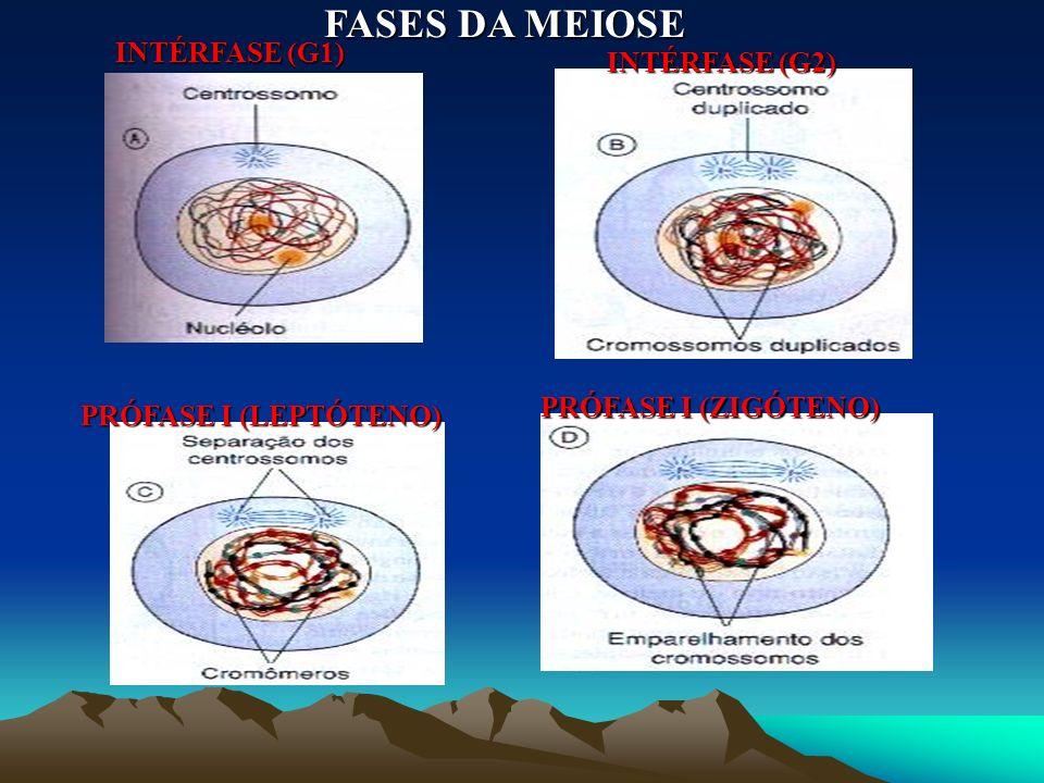 As Fases da Meiose II: - É extremamente semelhante à mitose. A formação de células haplóides a partir de outras haplóides só é possível porque ocorre,