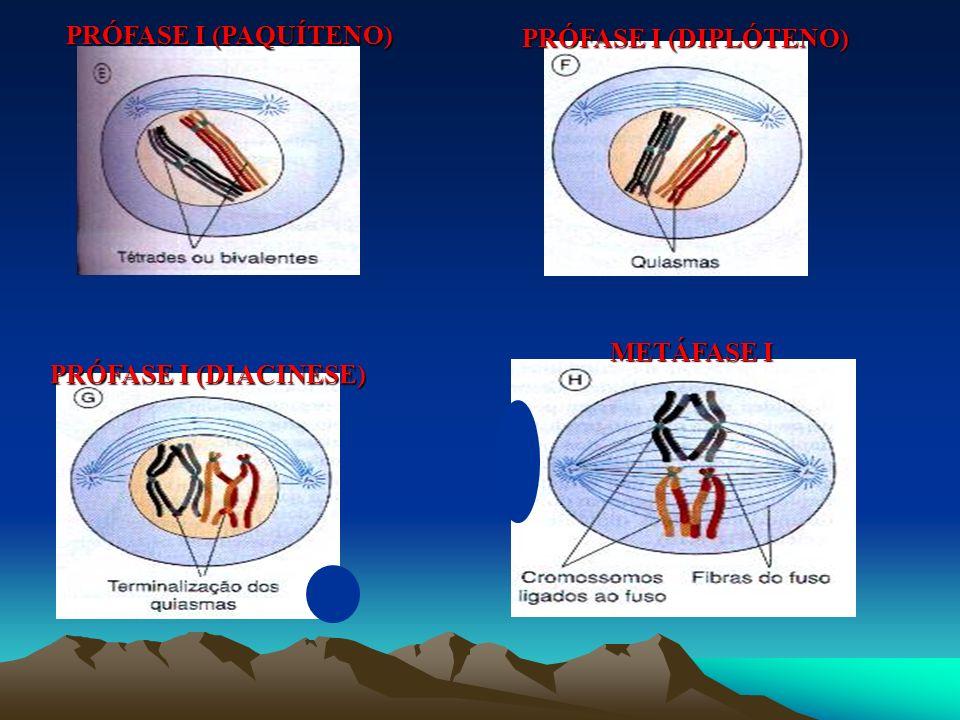 FASES DA MEIOSE INTÉRFASE (G1) INTÉRFASE (G2) PRÓFASE I (LEPTÓTENO) PRÓFASE I (ZIGÓTENO)
