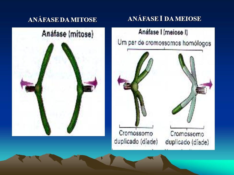 METÁFASE DA MITOSE METÁFASE I DA MEIOSE