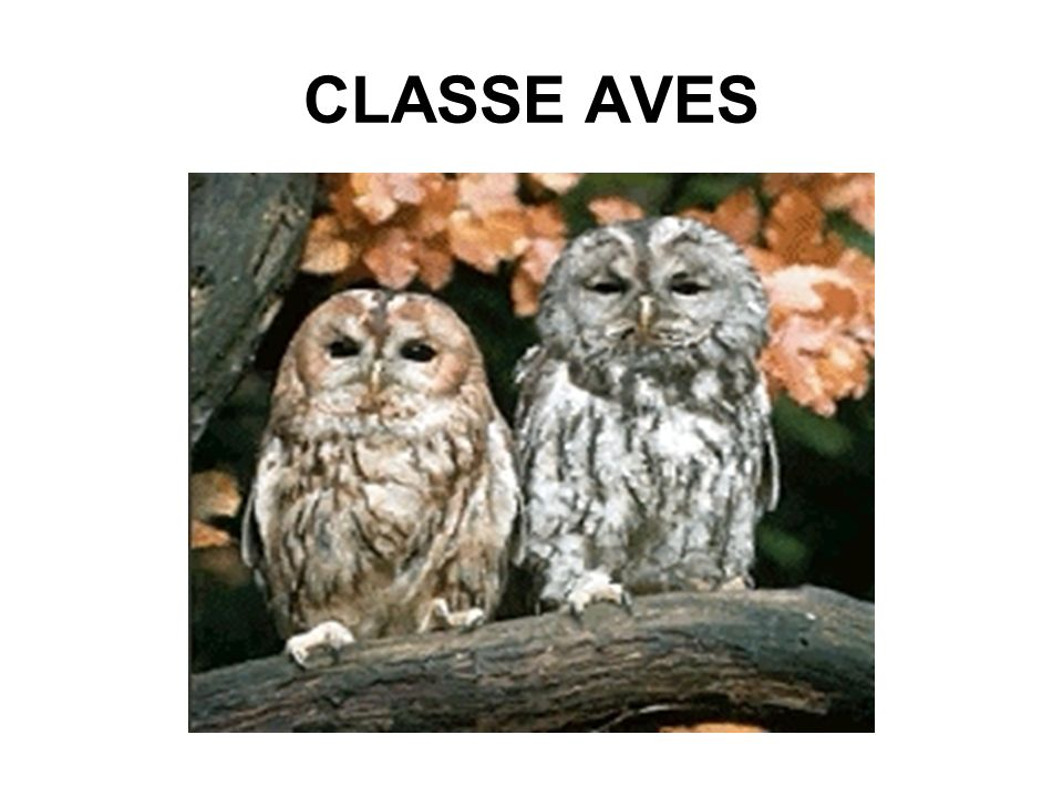 CLASSE AVES