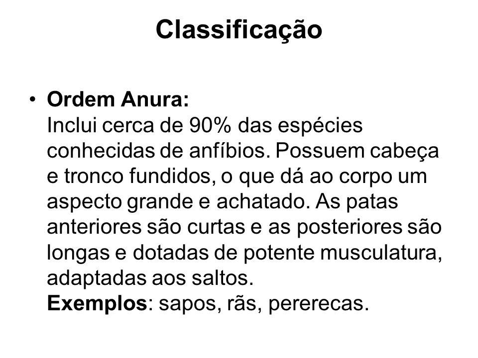 Classificação Ordem Anura: Inclui cerca de 90% das espécies conhecidas de anfíbios. Possuem cabeça e tronco fundidos, o que dá ao corpo um aspecto gra