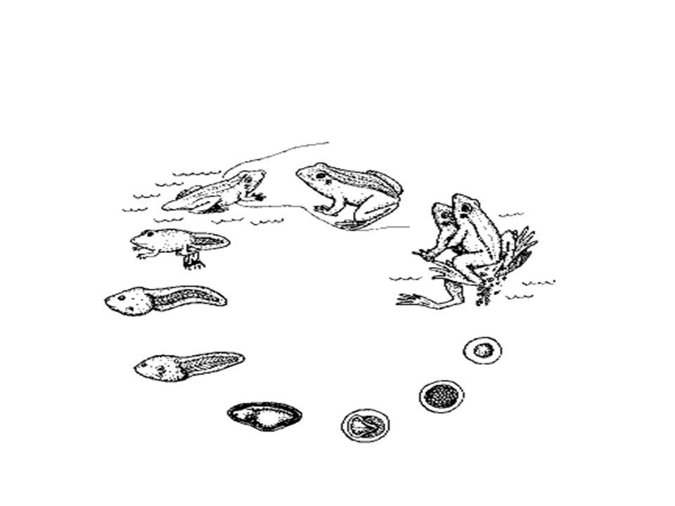 Dentre as salamandras, pode ocorrer o fenômeno da neotenia, pelo qual uma larva pode adquirir maturidade sexual e reproduzir- se sexuadamente, antes de completada sua metamorfose.