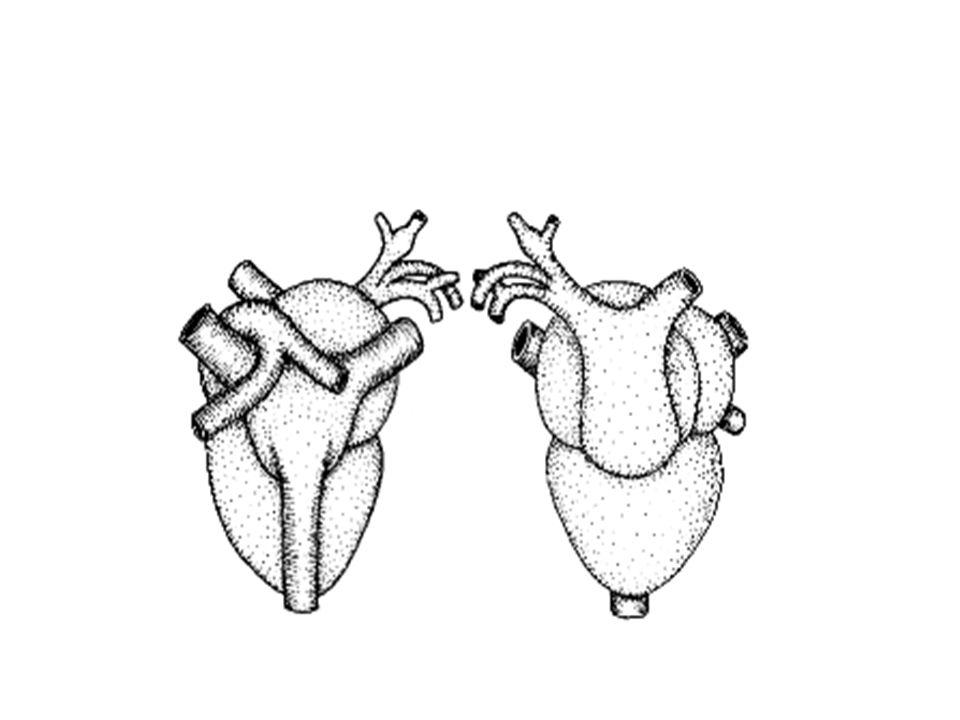A articulação do crânio com a 1a vértebra da coluna é feita por dois côndilos ou saliências do crânio que possibilitam a movimentação da cabeça para cima e para baixo, mas não lateralmente.