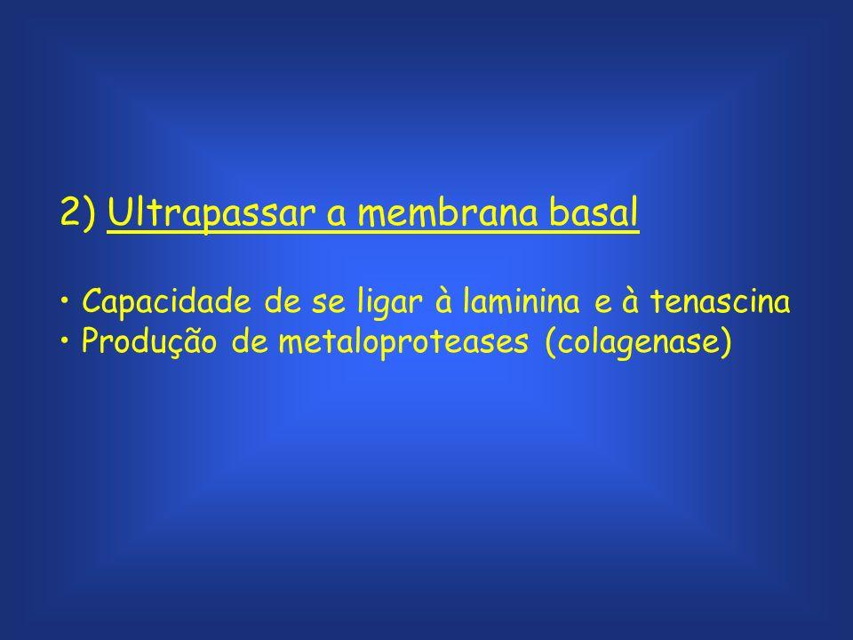 2) Ultrapassar a membrana basal Capacidade de se ligar à laminina e à tenascina Produção de metaloproteases (colagenase)