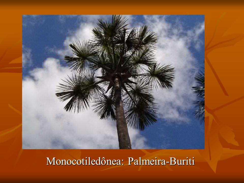Monocotiledônea: Palmeira-Buriti
