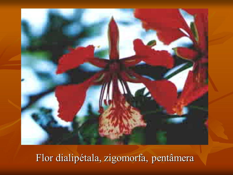 Flor dialipétala, zigomorfa, pentâmera