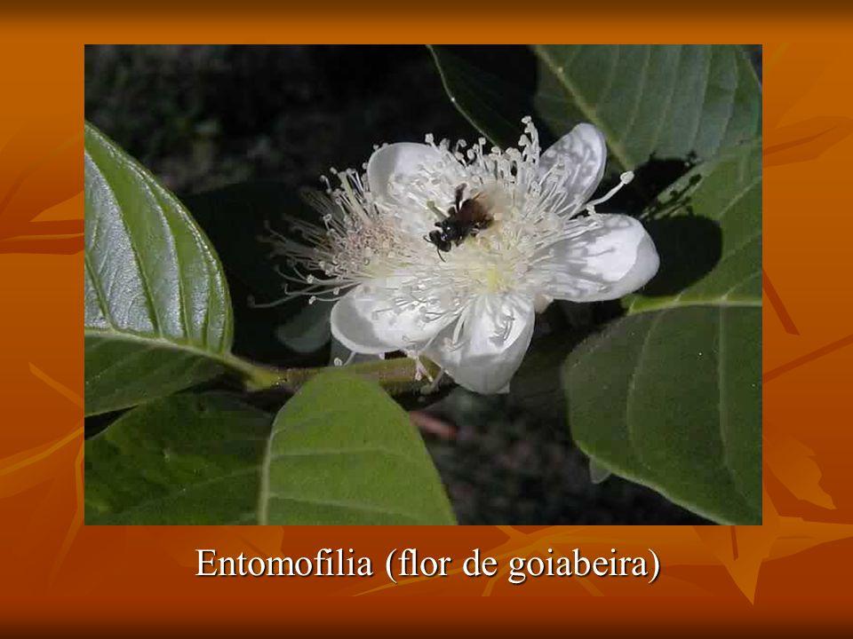 Entomofilia (flor de goiabeira)