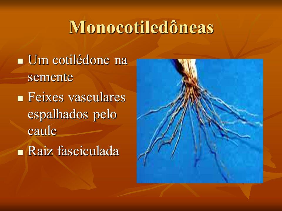 Monocotiledôneas Um cotilédone na semente Um cotilédone na semente Feixes vasculares espalhados pelo caule Feixes vasculares espalhados pelo caule Rai
