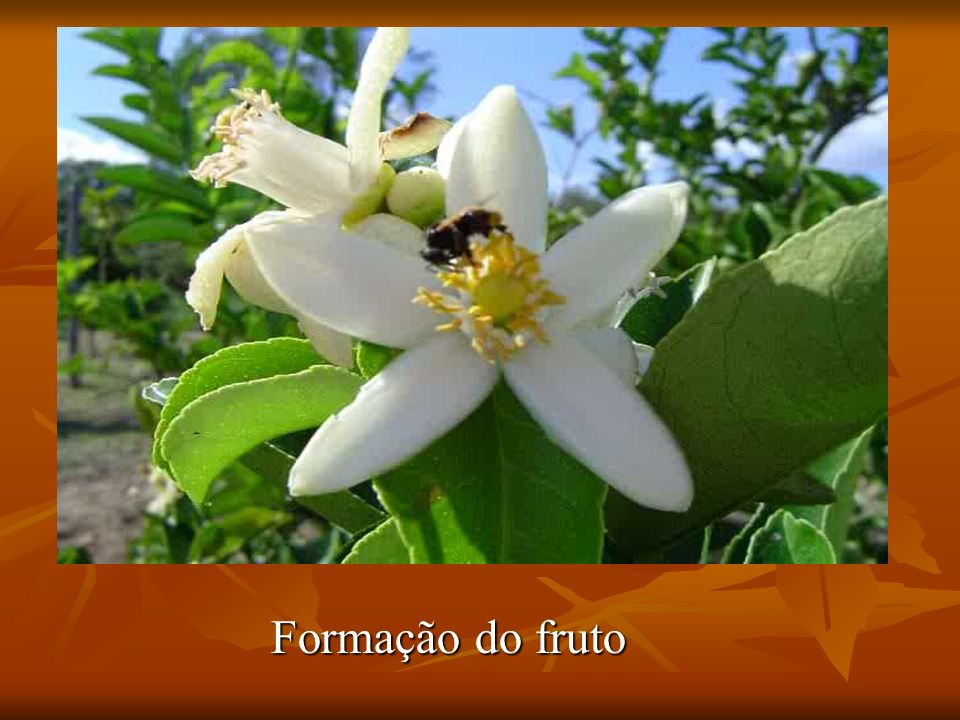 Formação do fruto
