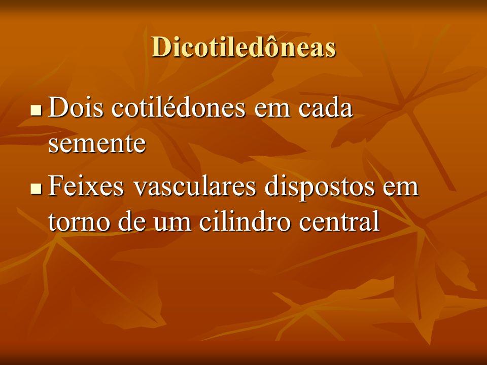 Dicotiledôneas Dois cotilédones em cada semente Dois cotilédones em cada semente Feixes vasculares dispostos em torno de um cilindro central Feixes va
