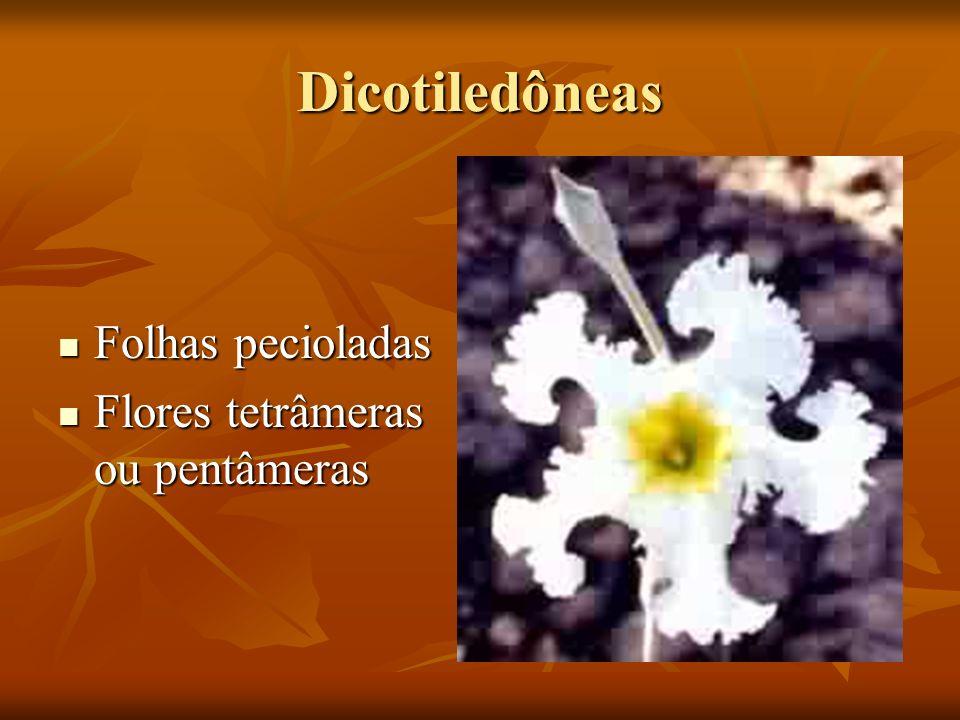 Dicotiledôneas Folhas pecioladas Folhas pecioladas Flores tetrâmeras ou pentâmeras Flores tetrâmeras ou pentâmeras