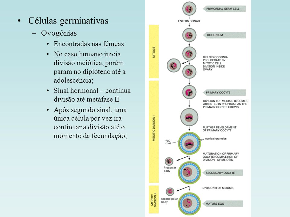 Células germinativas –Ovogônias Encontradas nas fêmeas No caso humano inicia divisão meiótica, porém param no diplóteno até a adolescência; Sinal horm