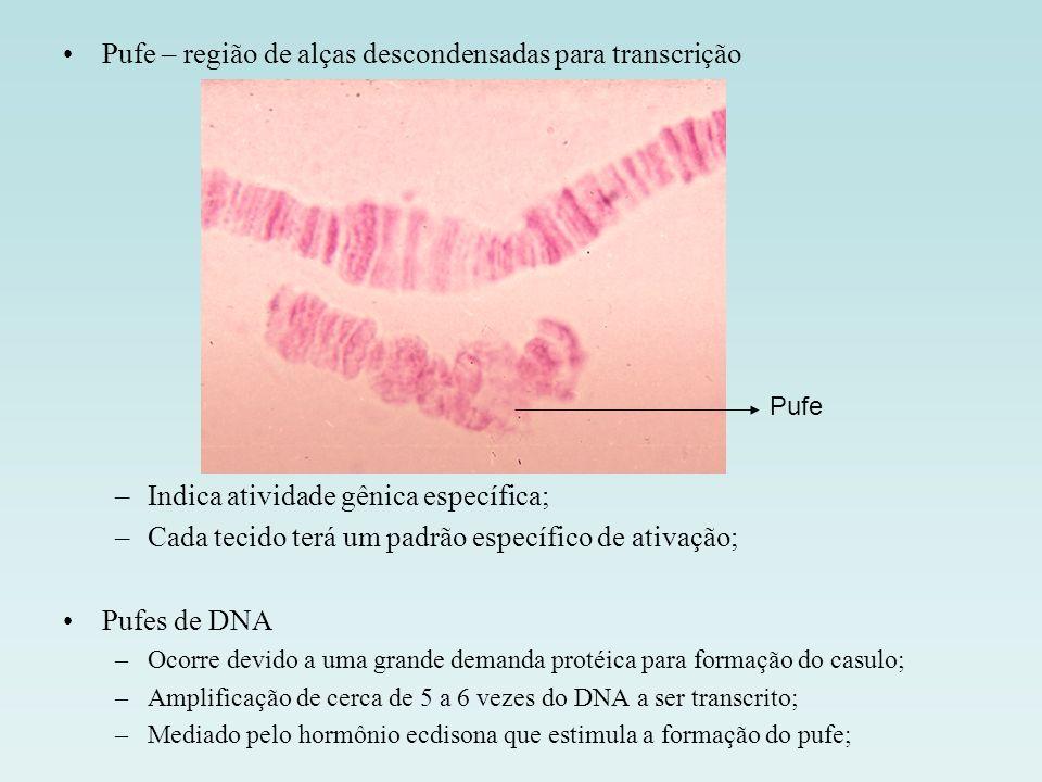 Pufe – região de alças descondensadas para transcrição –Indica atividade gênica específica; –Cada tecido terá um padrão específico de ativação; Pufes