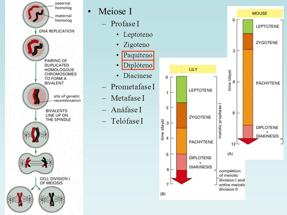 Meiose I –Profase I Leptoteno Zigoteno Paquíteno Diplóteno Diacinese –Prometafase I –Metafase I –Anáfase I –Telófase I