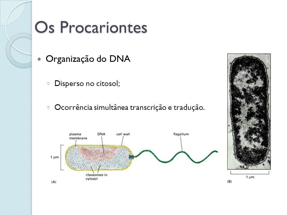 Os Procariontes Organização do DNA Disperso no citosol; Ocorrência simultânea transcrição e tradução.