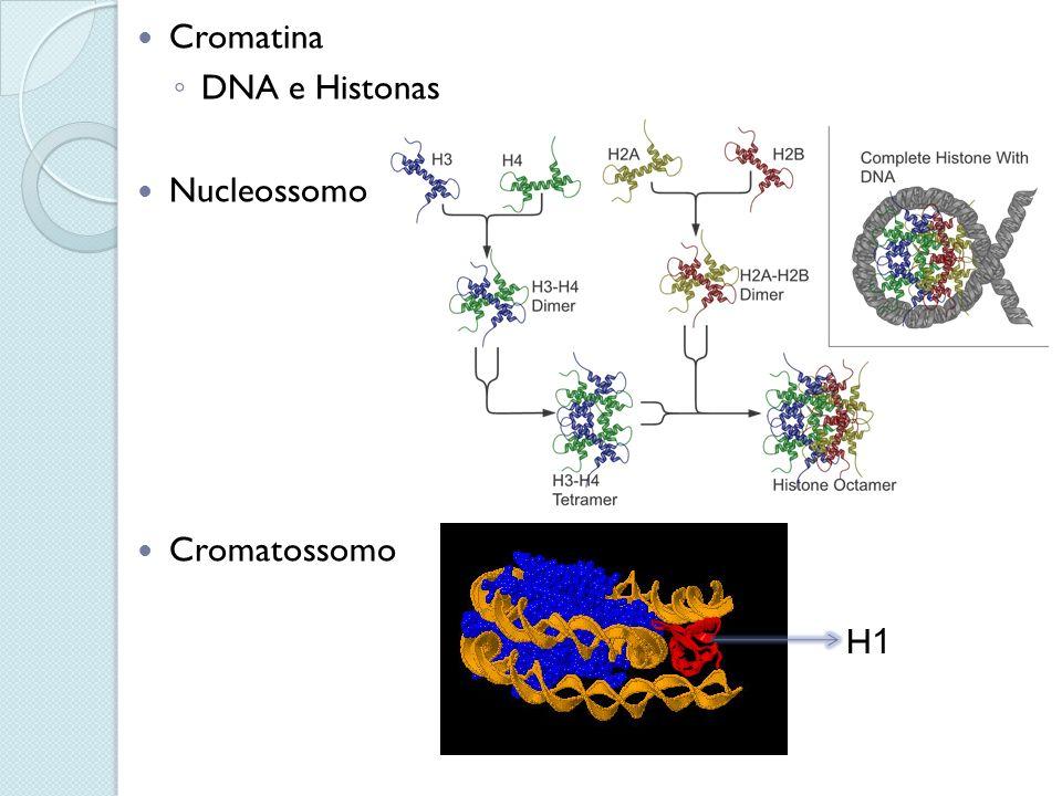 Cromatina DNA e Histonas Nucleossomo Cromatossomo H1H1