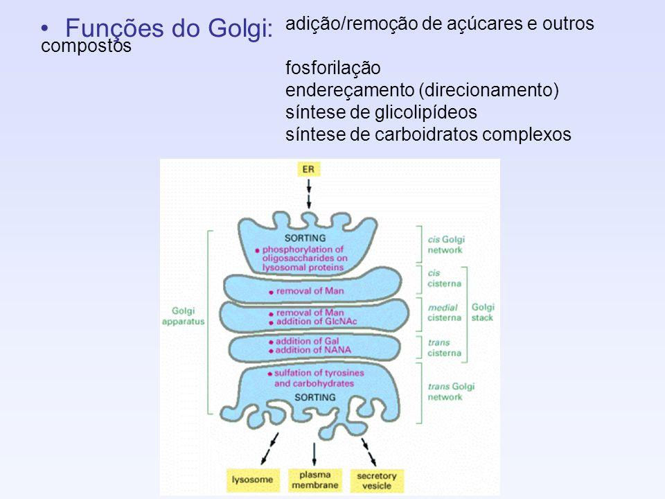 Funções do Golgi: adição/remoção de açúcares e outros compostos fosforilação endereçamento (direcionamento) síntese de glicolipídeos síntese de carboi