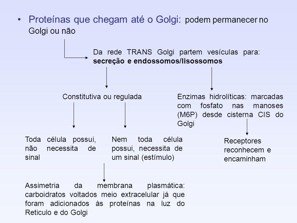 Proteínas que chegam até o Golgi: podem permanecer no Golgi ou não Da rede TRANS Golgi partem vesículas para: secreção e endossomos/lisossomos Constit