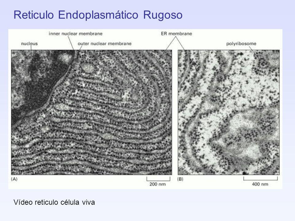 Reticulo Endoplasmático Rugoso Vídeo reticulo célula viva