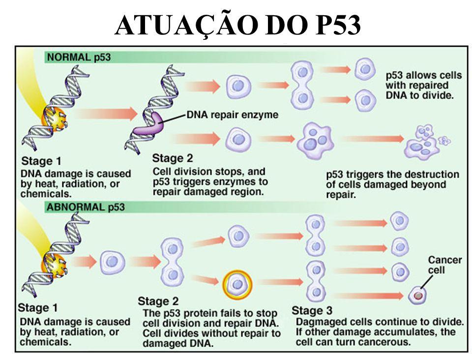 ATUAÇÃO DO P53