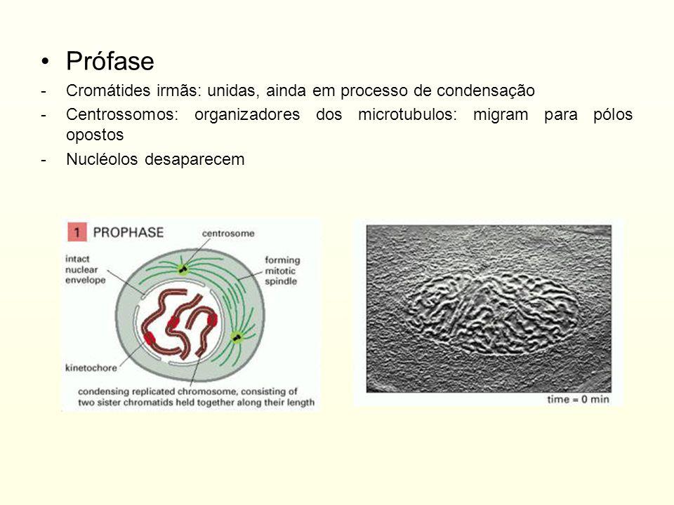 Prófase -Cromátides irmãs: unidas, ainda em processo de condensação -Centrossomos: organizadores dos microtubulos: migram para pólos opostos -Nucléolo