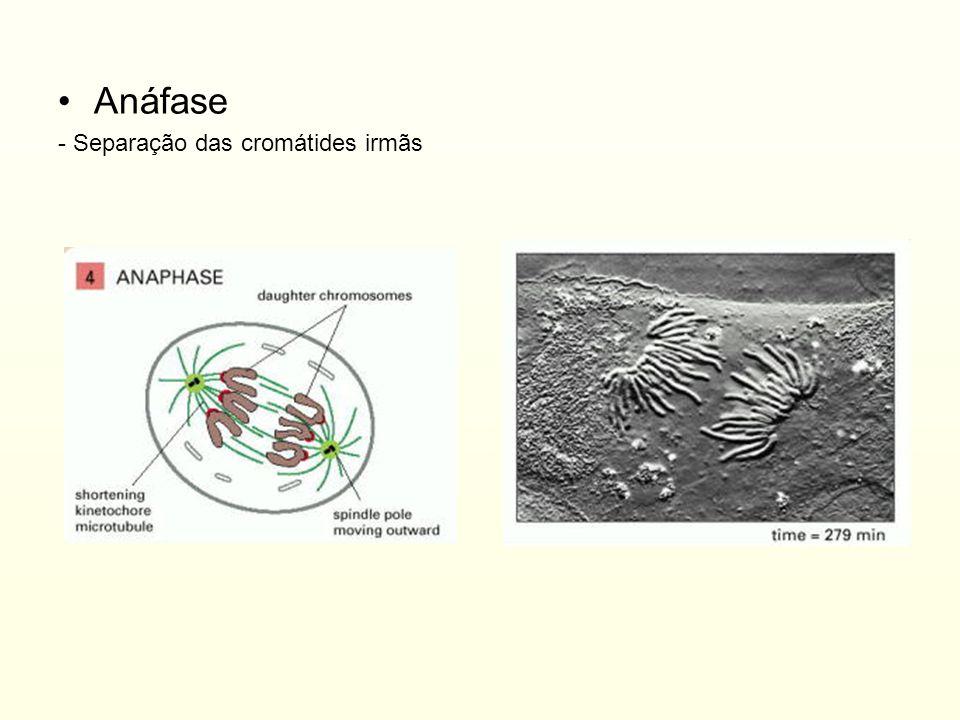 Anáfase - Separação das cromátides irmãs