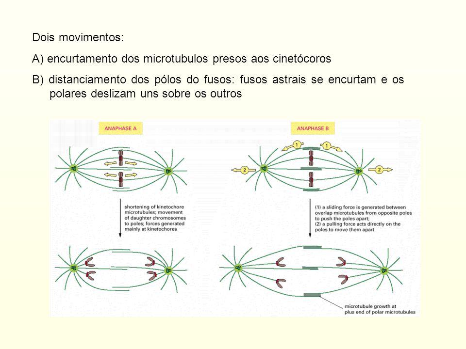 Dois movimentos: A) encurtamento dos microtubulos presos aos cinetócoros B) distanciamento dos pólos do fusos: fusos astrais se encurtam e os polares