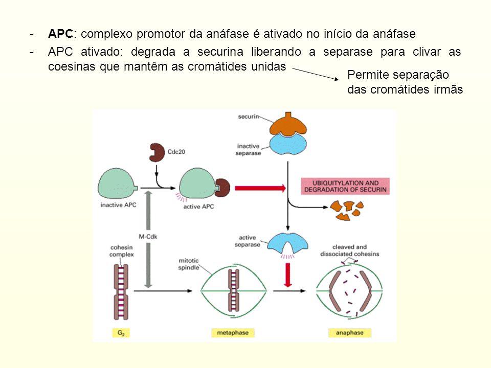 -APC: complexo promotor da anáfase é ativado no início da anáfase -APC ativado: degrada a securina liberando a separase para clivar as coesinas que ma