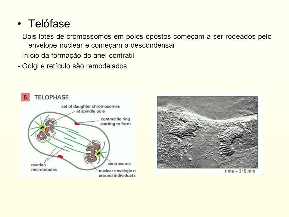 Telófase - Dois lotes de cromossomos em pólos opostos começam a ser rodeados pelo envelope nuclear e começam a descondensar - Início da formação do an
