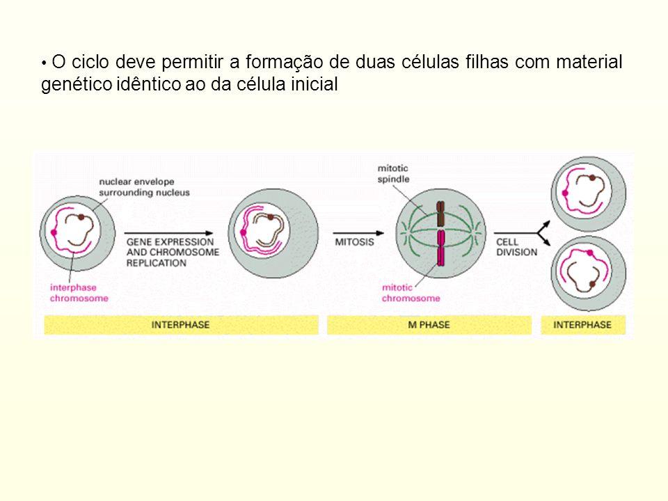 O ciclo deve permitir a formação de duas células filhas com material genético idêntico ao da célula inicial