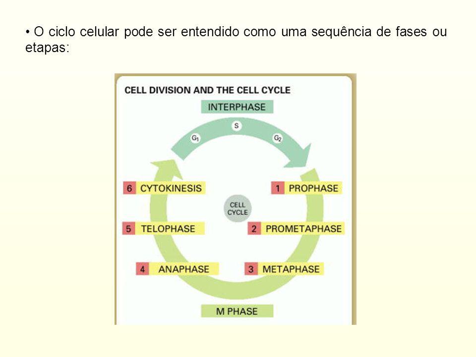 Mecanismos regulatórios do ciclo celular -Participação de ciclinas e Cdks (quinases ciclino-dependentes): quinases são ativadas pelas ciclinas e assim exercem diferentes funções através de diferentes fosforilações -Estas ciclinas são degradas via proteassoma: presentes apenas nas suas fases especificas de atuação