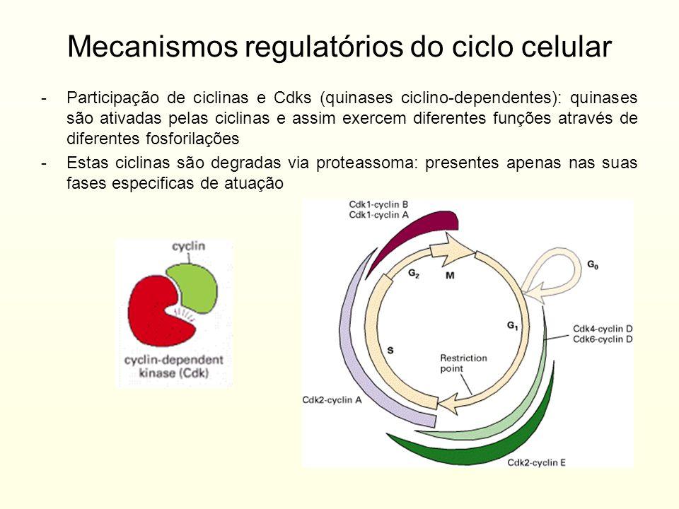 Mecanismos regulatórios do ciclo celular -Participação de ciclinas e Cdks (quinases ciclino-dependentes): quinases são ativadas pelas ciclinas e assim