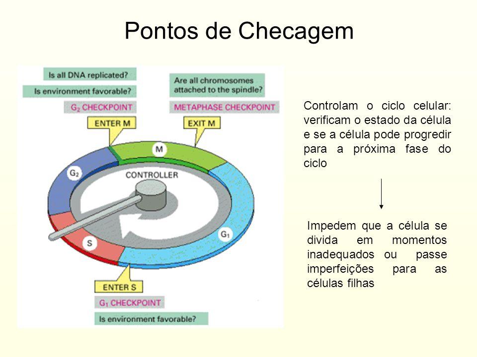 Pontos de Checagem Controlam o ciclo celular: verificam o estado da célula e se a célula pode progredir para a próxima fase do ciclo Impedem que a cél