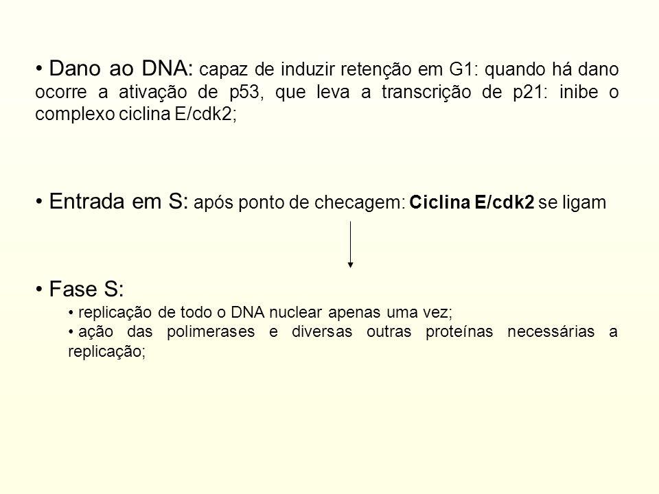 Entrada em S: após ponto de checagem: Ciclina E/cdk2 se ligam Fase S: replicação de todo o DNA nuclear apenas uma vez; ação das polimerases e diversas