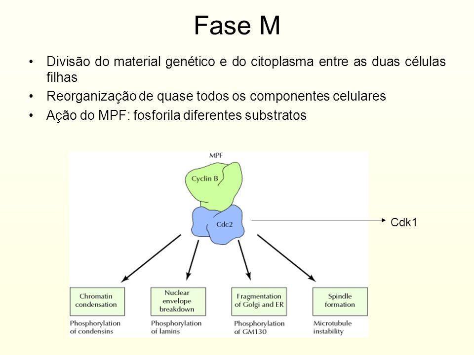Fase M Divisão do material genético e do citoplasma entre as duas células filhas Reorganização de quase todos os componentes celulares Ação do MPF: fo