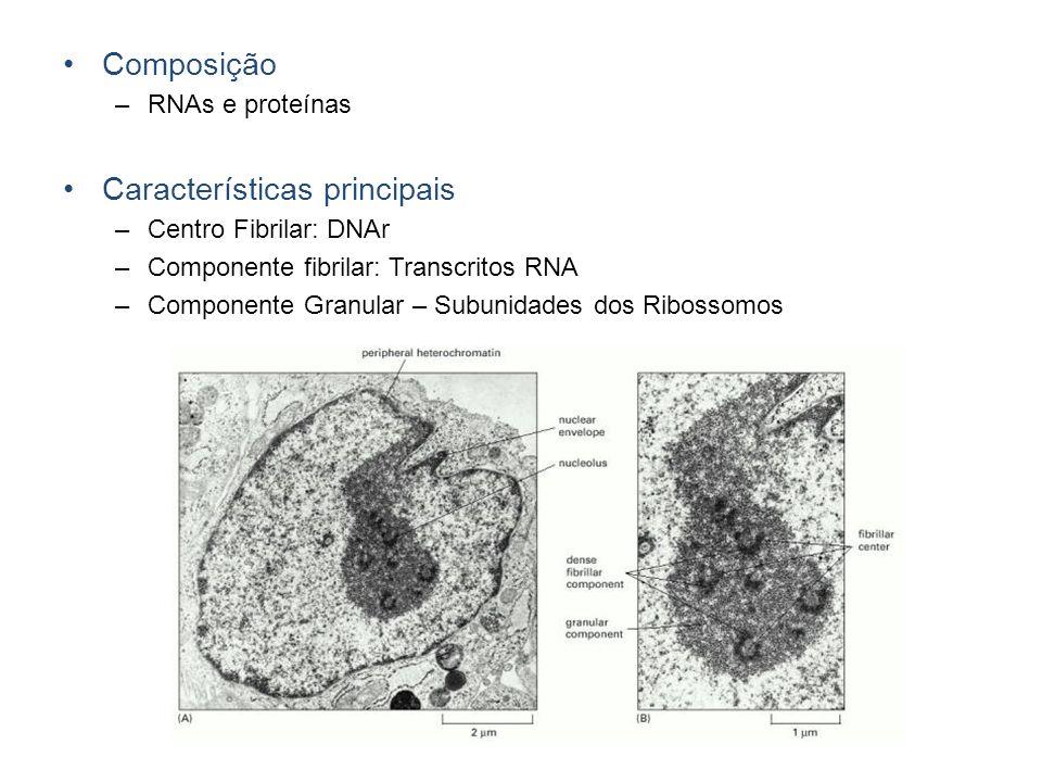 Composição –RNAs e proteínas Características principais –Centro Fibrilar: DNAr –Componente fibrilar: Transcritos RNA –Componente Granular – Subunidade