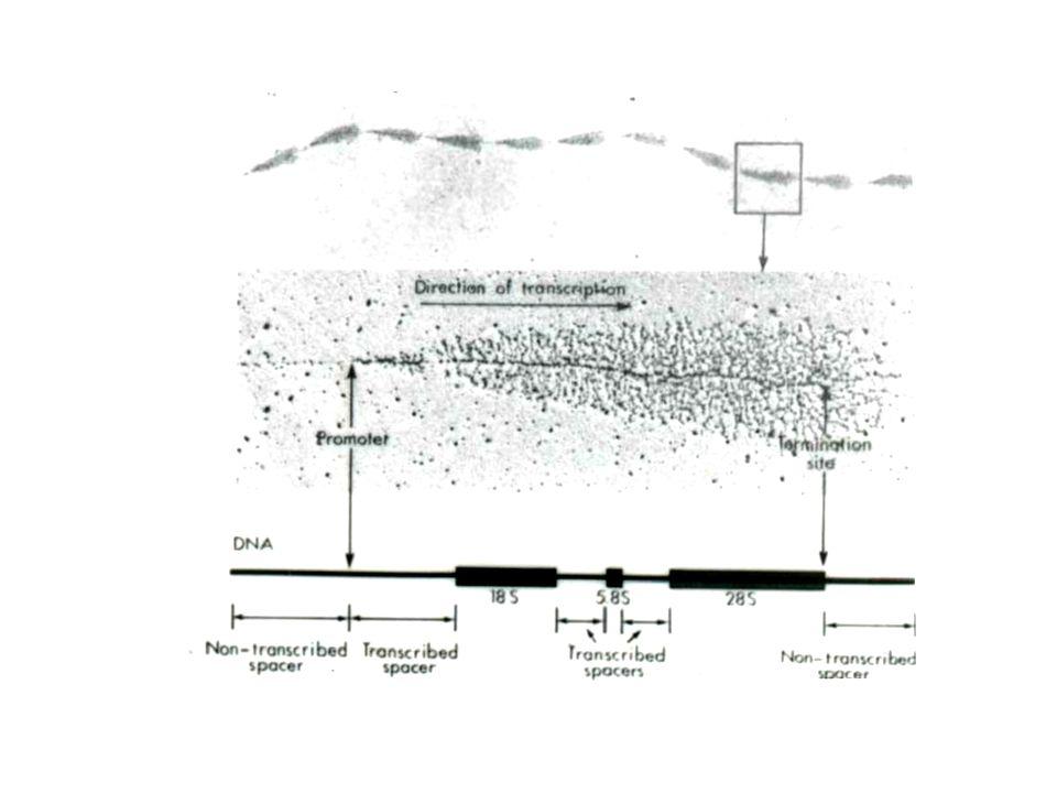 Polimerases –RNA polimerase I – transcrevem genes ribossomais http://www.sinauer.com/cooper/4e/animations0701.html Precursores são clivados: Amadurecimento no citosol RNA comp.