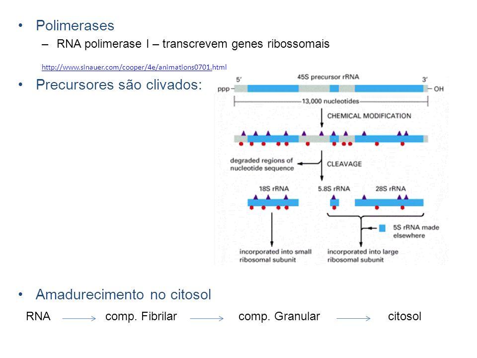 Polimerases –RNA polimerase I – transcrevem genes ribossomais http://www.sinauer.com/cooper/4e/animations0701.html Precursores são clivados: Amadureci
