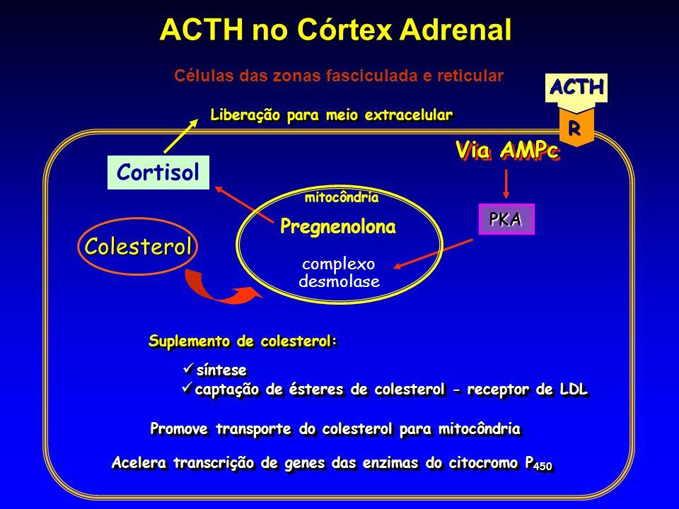 Cortisol complexo desmolase Colesterol mitocôndria Pregnenolona Acelera transcrição de genes das enzimas do citocromo P 450 PKA Suplemento de colester