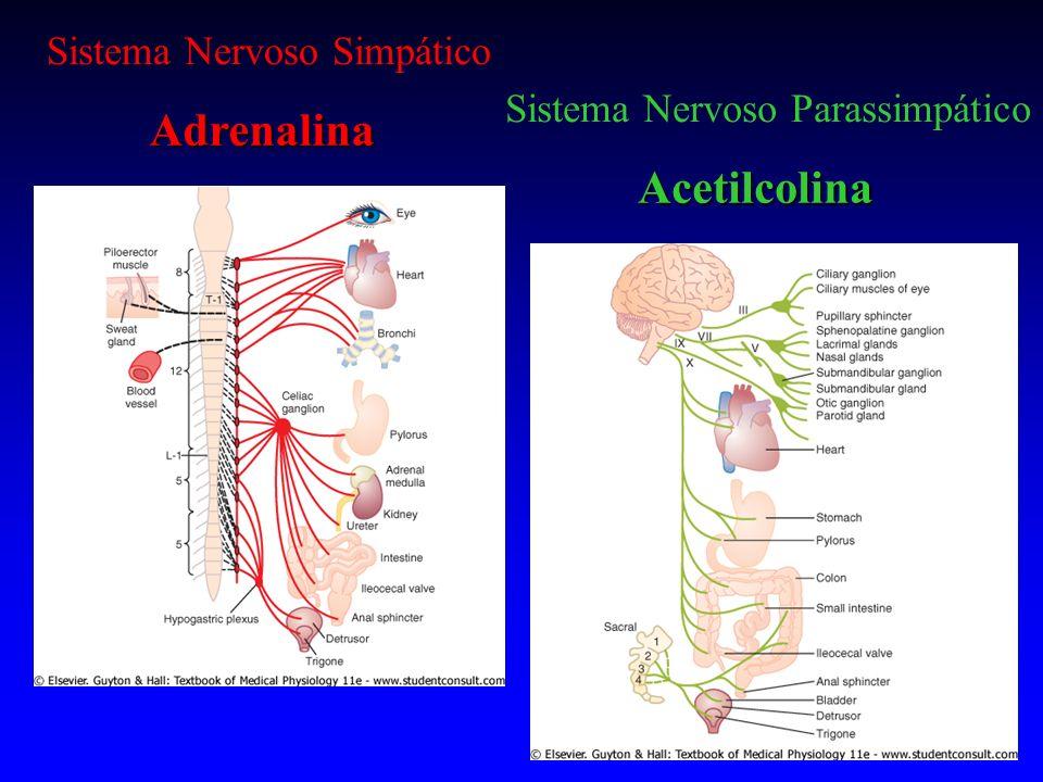 Regulação da secreção da medula supra -renal A ativação da medula supra-renal acompanha a ativação do sistema nervoso simpático.