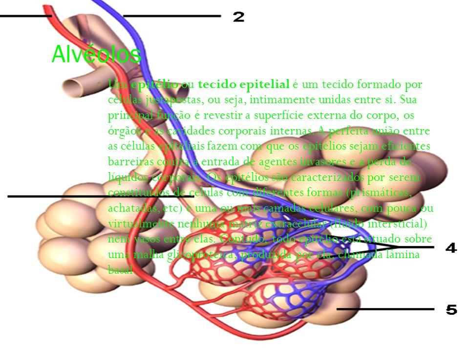 Alvéolos Um epitélio ou tecido epitelial é um tecido formado por células justapostas, ou seja, intimamente unidas entre si. Sua principal função é rev