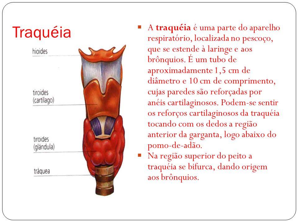 Traquéia A traquéia é uma parte do aparelho respiratório, localizada no pescoço, que se estende à laringe e aos brônquios. É um tubo de aproximadament